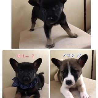 保健所からレスキュー🐶子犬4匹♂♀家族を待っています🍀会いに来て...