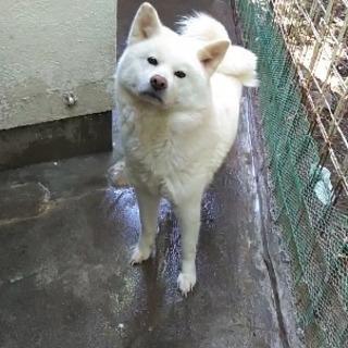 秋田犬の女の子です。