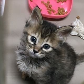 4月11日生まれ  子猫里親募集