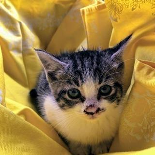 生後1ヶ月くらいの子猫里親さん募集です!