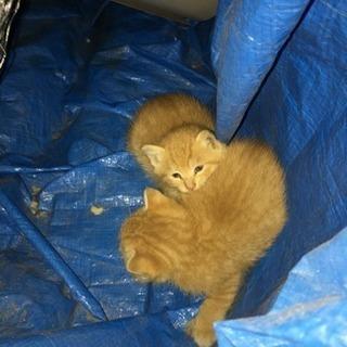 1ヶ月程の子猫 茶トラ 4匹