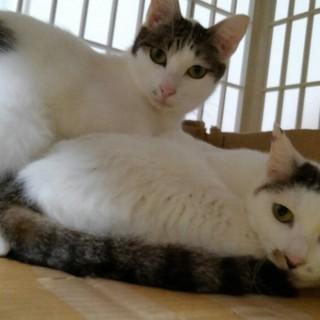 凛々しい白きじ男のコ推定2才、3才母猫と - 横浜市