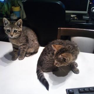 子猫2匹もらってください