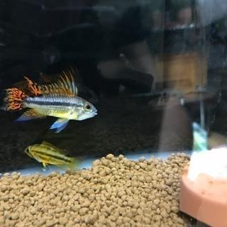 アピスト 熱帯魚