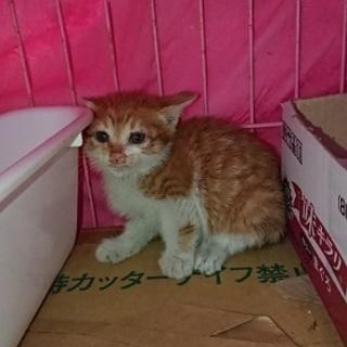 とても愛らしい1ヶ月茶白の赤ちゃん猫!