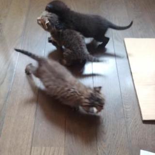 【里親募集】生後1ヶ月弱の子猫さんฅ•ω•ฅニャニャーン✧