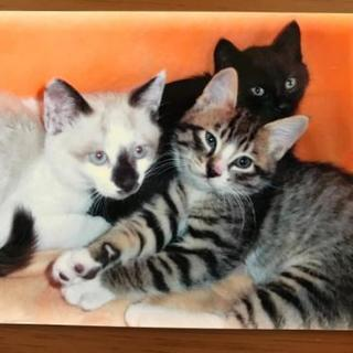 ラグドール風と黒の子猫の兄妹
