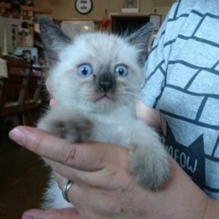 子猫7匹 残りはシャム風の1匹です。