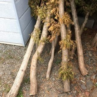 伐採したヒバの木 薪用