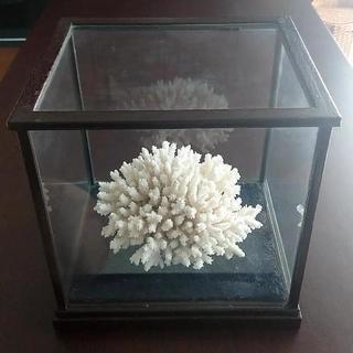 お値下げ‼️白珊瑚  置物  特注専用ガラスケース付き