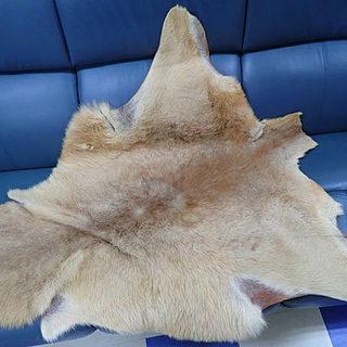 札幌市 恐らく バンビの毛皮 敷物 加工材料 サイズ 縦110c...