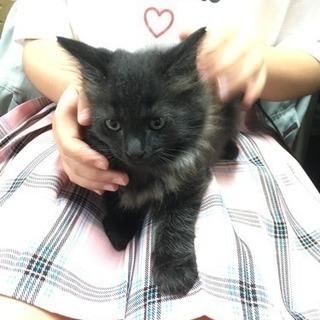 子猫 ♂モフモフの黒猫くん 里親募集!