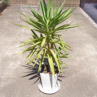 観葉植物 ユッカの木