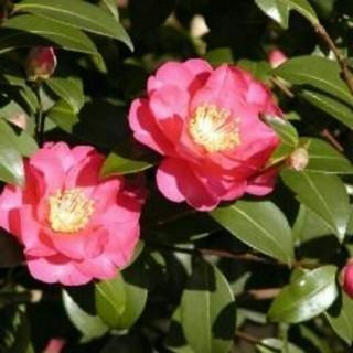 山茶花(さざんか)の挿し芽★5芽