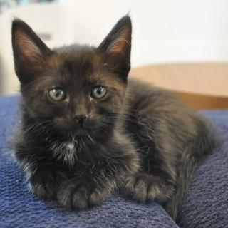 生後一か月半程度の黒猫さんです。