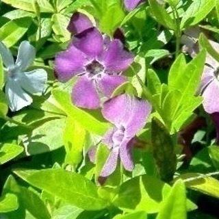 ツルニチニチソウ/ビンカ・マジョール(紫・白・紫がかったブ…