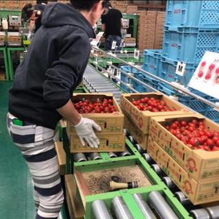 ミニトマトの選別の軽作業スタッフさん増員! 即日可能!