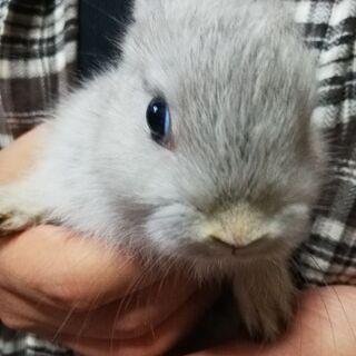 ネザーランドドワーフとミニウサギの子ウサギ、生後1ヶ月