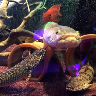 熱帯魚(古代魚)