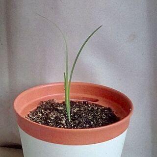 胡蝶蘭 幼苗