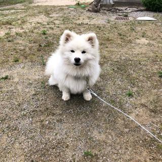 6ヶ月 スピッツ×コーギー  ミックス犬 - 羽島郡
