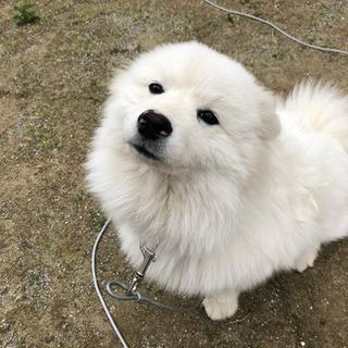6ヶ月 スピッツ×コーギー  ミックス犬