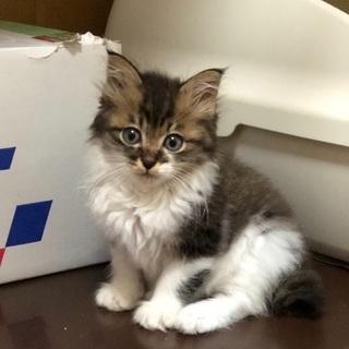生後1ヶ月の可愛い兄妹猫(6/2譲渡会参加)