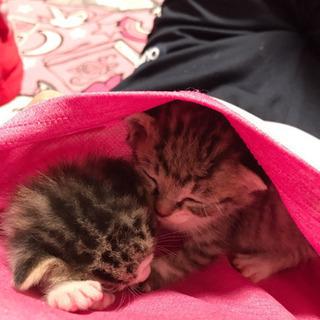 母猫の居ない甘えっ子の子猫二匹の里親募集です。