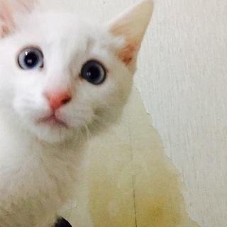 白の子猫 メス6ケ月ぐらい の画像
