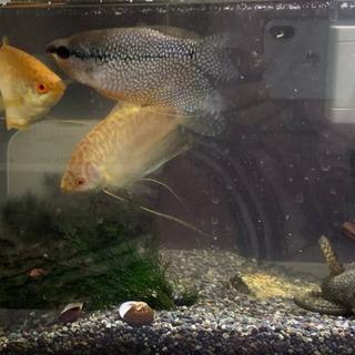 熱帯魚のゴールデングラミーとパールグラミーまとめて売ります。