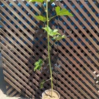黄苺 木苺の木 ポット付 約1メートル