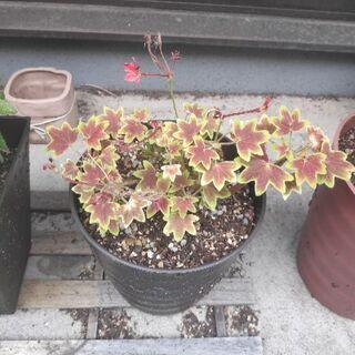 植物 花 ゼラニウム 開花済