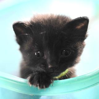 黒猫 多分メス?! 野良の子猫 生後約2〜3週間? 飼い主不在を...