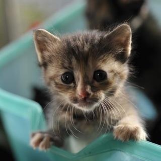 麦わら メス?! 野良の子猫 生後約2〜3週間? 飼い主不在を確認済み