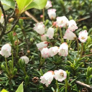 (参加者募集)一緒に登山ハイキングに行って可愛いくて華麗なお花を...
