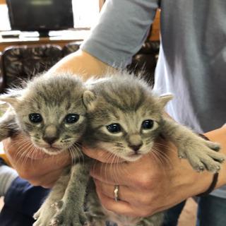 子猫2匹    5月11日生まれ 【募集一時休止中】
