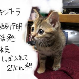 生後一ヶ月ほどの子猫です、性別まだわかりませんの画像