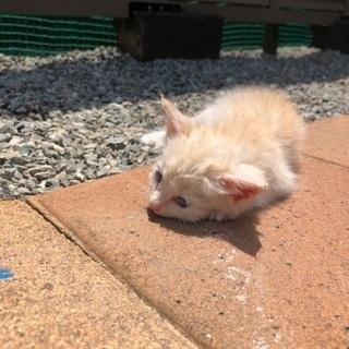生後3週間のかわいい子猫の里親募集です!