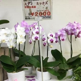 ミニ胡蝶蘭2000円