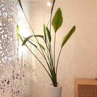 観葉植物(ストレリチア)