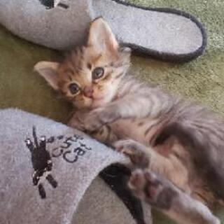 生後1ヶ月半の子猫♂2匹