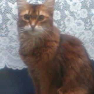 ソマリ ♀ 9歳 とても人懐こく手がかからない猫です。