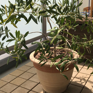 値下げ☆テラコッタ鉢付き!オリーブの木