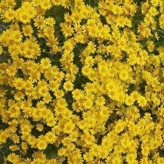 ダールベルグデージー 秋頃までお花が楽しめます♪【お好きな…