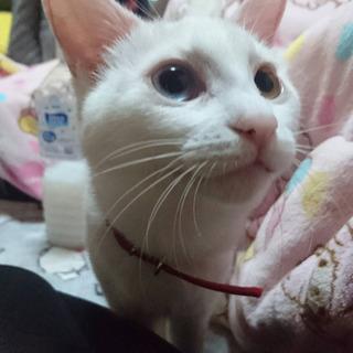 10ヶ月 オッドアイの白猫