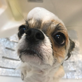 トリミングのモデル犬として協力してくださる方募集しています!