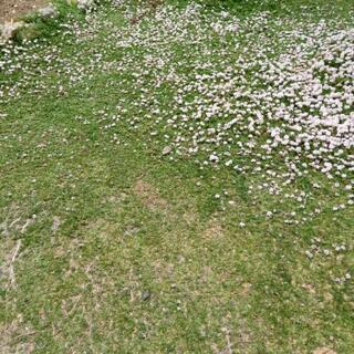 ヒメイワイダレソウ(芝の変わりのグリーンカーペット)