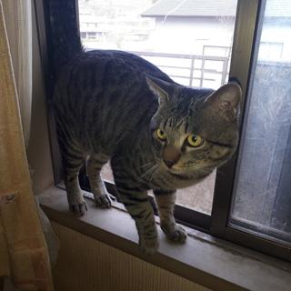 里親募集☆3・5歳のオスの猫ちゃん2匹です!!