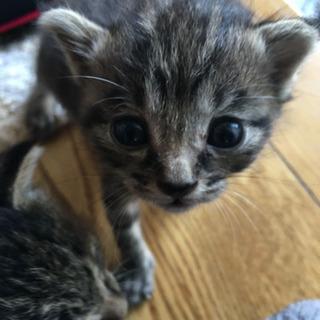 生後3週間くらいのキジトラの子猫