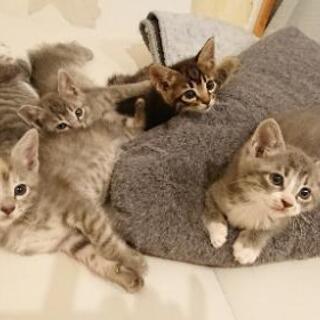 4/18生まれの子猫の里親さんを募集します。一旦締め切ります。